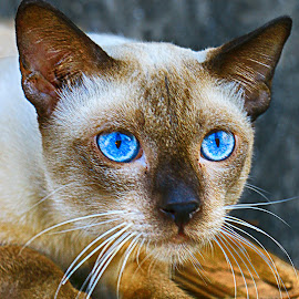Wild Thai Feral Cat with Beautiful Blue Eyes by James Morris - Animals - Cats Portraits ( siamese cat, l blue, cats, feline, siamese, thai, wild, feral cat, eyes, beautifu,  )