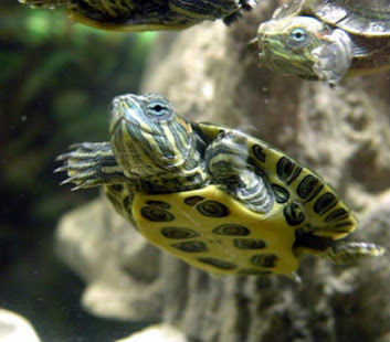 Pet Turtle Care Apps On Google Play
