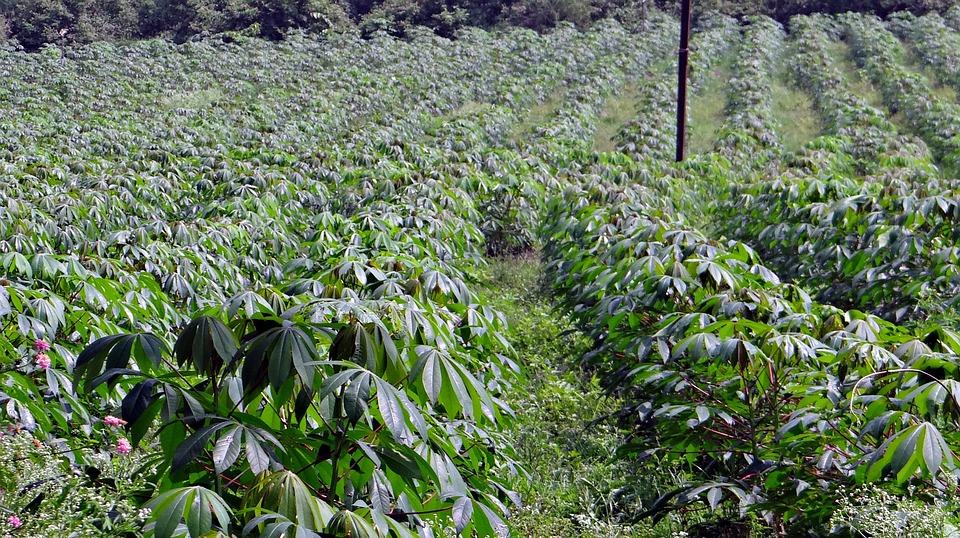 Culture du manioc : Champ de manioc herbeux