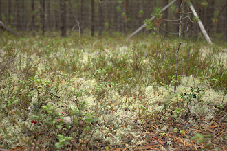 Photo: The (ungrazed) lichen forest