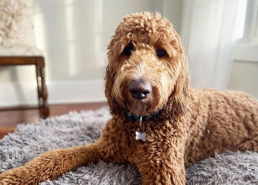 A fluffy brown dog with a bone shaped collar tag looks at camera from a fluffy grey floor rug.