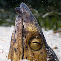 Blacksaddle snake eel