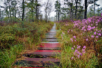 Photo: Paid a visit to the Saco Heath in Saco, Maine to see the rhodora bloom. The rainy, wet conditions were perfect for shooting in a bog, and really made the bright flowers pop.