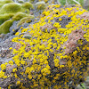 Common Gold Speck Lichen