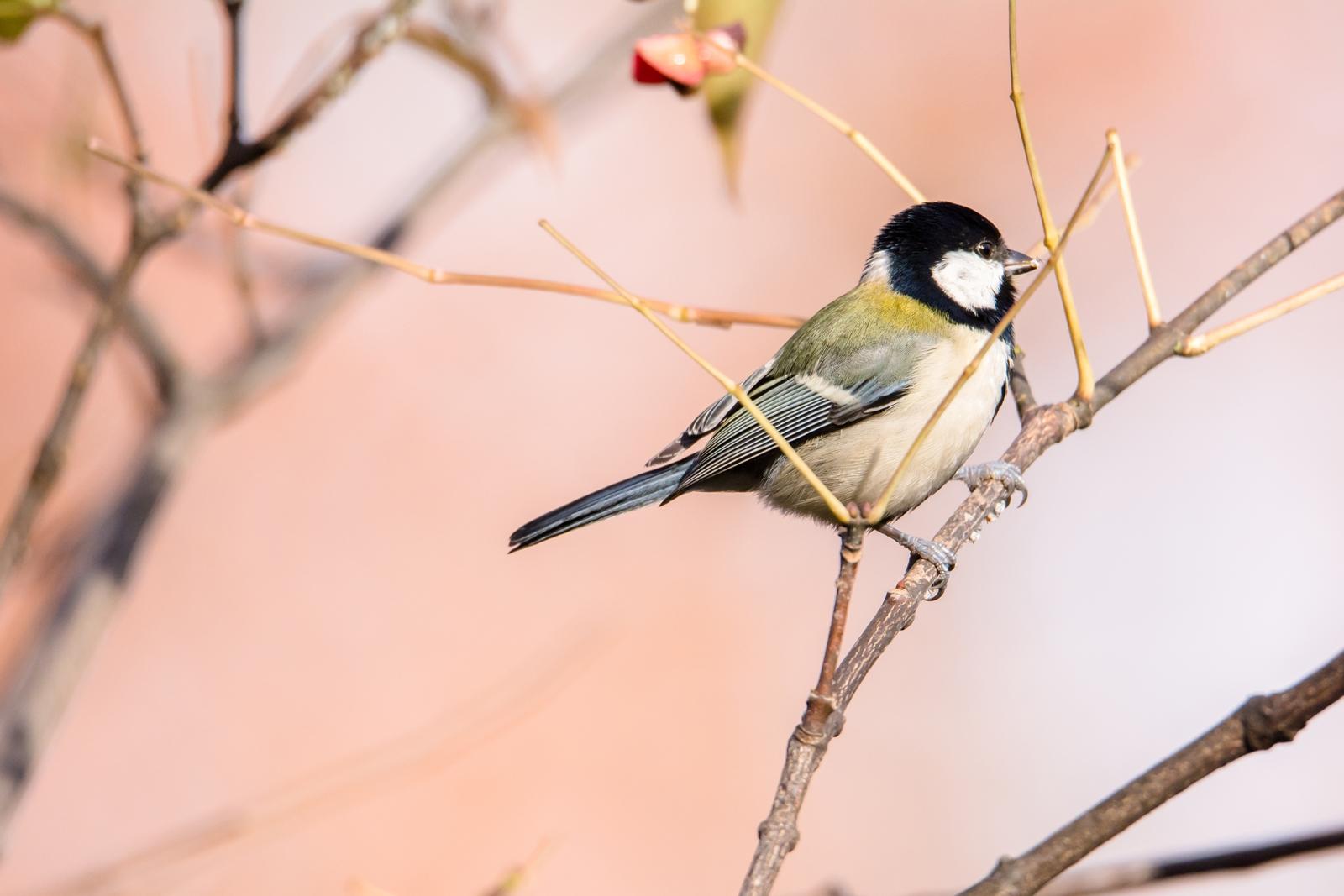 Photo: 色の温かさ Warmth of color  冬になり 葉は落ち 少し寂しい季節 でも木々は見せてくれる 温かな色合い  Japanese Tit. (シジュウカラ) #cooljapan #365cooljapanmay #birdphotography #birds #kawaii Nikon D7100 SIGMA 150-600mm F5-6.3 DG OS HSM Sports [ Day240, January 7th ]