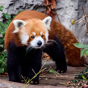 Red Panda by Deborah Lucia - Animals Other Mammals ( zoo, panda, _red_panda, zoo_animals )