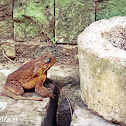 Philippine Toad