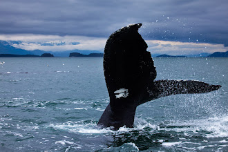 Photo: Ramming Speed.....  This is from a couple of years ago near Juneau, AK. This guy and 13-15 of his friends decided to buzz the 26ft boat I was in. To give you an idea of how close this is, this is shot at 100mm and is uncropped (other than a minor rotation to level the horizon). They came right at us and went under and around the boat. Not as dramatic as the bubble feeding we saw that I posted a month or so ago, but still a pretty impressive thing to see. You really get a sense of how big humpbacks are when hey get close enough that you could jump on them.