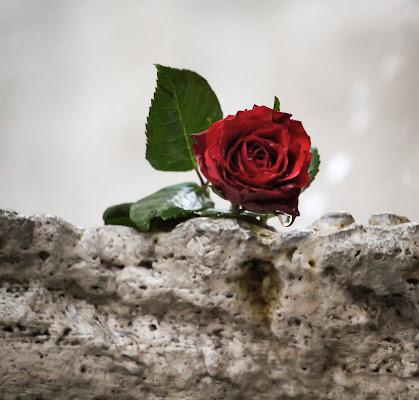 Lacrima di rosa  di Giovannisigg