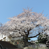 Tải 横浜 捜真小学校の桜(JP247) miễn phí