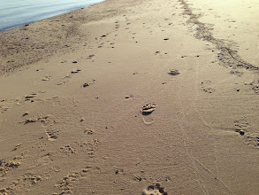 Photo: Doug and I elected to walk the beach instead of the more traditional trail route. We found these tracks about a half hour after leaving camp. Near pine Bluffs we found some people but I am not sure if they were the creators of the tracks.