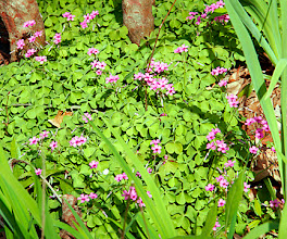 Photo: Oxalis rosea  An Asiatic species