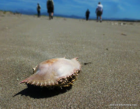 Photo: Crab shell on the beach at Peso Island