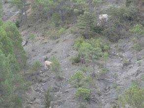 Photo: vaches croisées avec chamois !