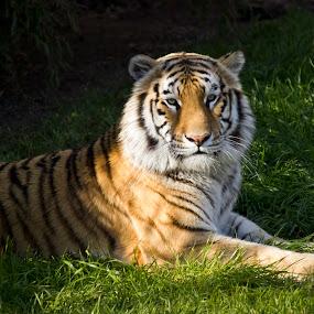 Tony by Tracy Boyd Goodwin - Animals Lions, Tigers & Big Cats ( field, orange, wild, cat, tiger, feline, stripes )