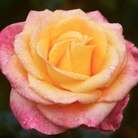 0 Rose 9792~ by Raphael RaCcoon - Flowers Single Flower