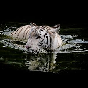 Harimau 1 Pixoto.jpg