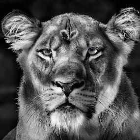 by William Underwood  - Black & White Animals