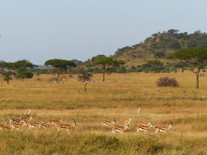 """Photo: Some Thomson Gazelles -- a small antelope that are part of the """"McDonalds"""" for larger predators."""