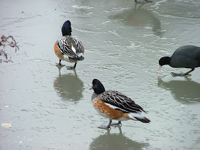 Photo: Ducks on ice