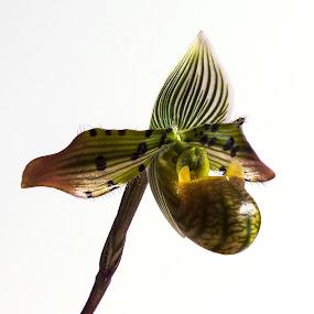 Paphiopedilum venustum by Simon Joubert - Flowers Single Flower ( paphiopedilum, orchid, lady's slipper, venustum )