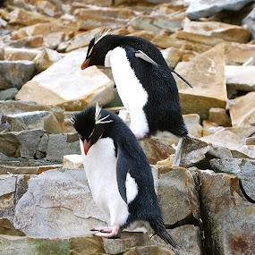 Rockhopper penguins  by Janet Rose - Novices Only Wildlife ( , sea creatures, underwater life, ocean life )