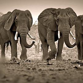 Ellie Brothers by Pieter J de Villiers - Black & White Animals