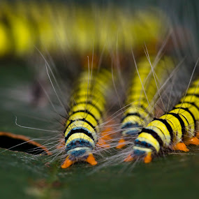 caterpillars  by Pungut Luntar - Animals Other