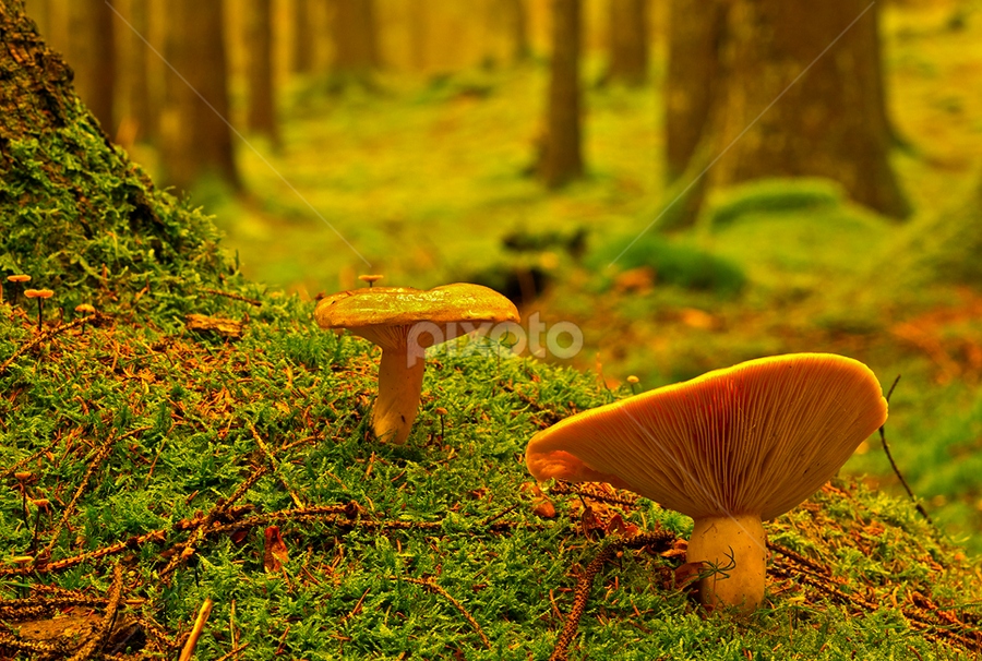 Shrooms in the woods by Peter Samuelsson - Nature Up Close Mushrooms & Fungi