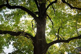 Photo: 105 year-old Linden tree