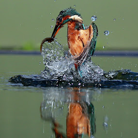 King of Fishers! by Dave Roberts - Animals Birds ( reflection, kingfisher,  )