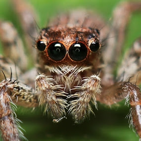 Beautiful Eyes by Bhavya Joshi - Animals Insects & Spiders ( macro, jumping spider, the eyes, spider, insects )