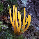 Yellow stagshorn