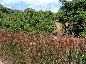 Photo: Vetiver hedge directly above the channel to the bottom left. Above that the extensive slope which generates leaves and sediment. Carpinteria foothills.