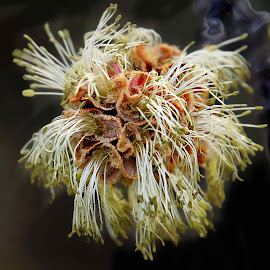 Maple flower by Gaylord Mink - Nature Up Close Trees & Bushes ( plant, pistils, stamen, flower )