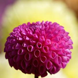 Magenta Overload by Raphael RaCcoon - Flowers Single Flower ( pink flower, magenta, pink, dahlia, flower,  )