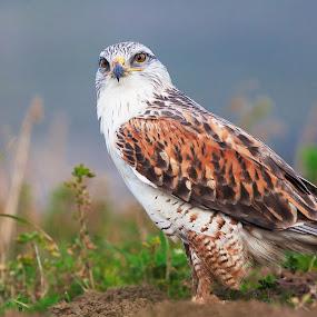 ferruginous hawk by Alex Sam - Animals Birds ( ferruginous hawk )