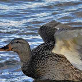 Stretch by Kathy Woods Booth - Animals Birds ( waterfowl, wings, duck, feathers, mallard, fowl )