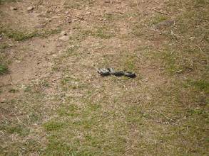 Photo: From Broad Haven to Solva (adder squatting the path)