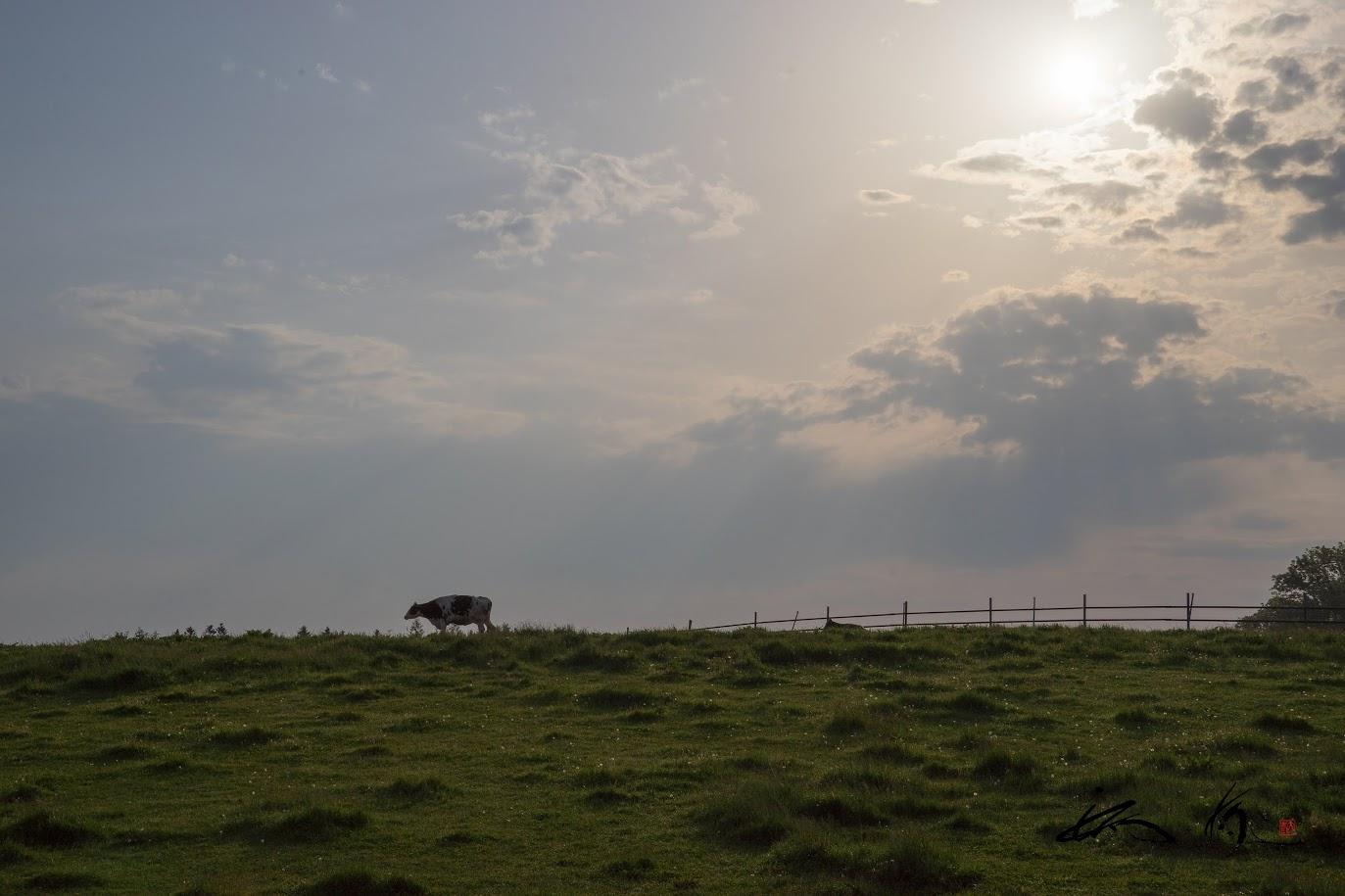 のんびり牛さん