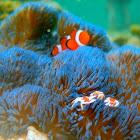 Blue giant carpet anemone