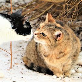 Good Morning Kiss  by Linda    L Tatler - Animals - Cats Portraits