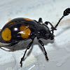 Endomychid Beetle / Handsome Fungus Beetle