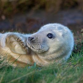 Young grey seal pup with paw raised by Fiona Etkin - Animals Other Mammals ( whiskers, flipper, mammal, nature, paw, seal, grey seal, animal, big eye, fluffy, cute,  )