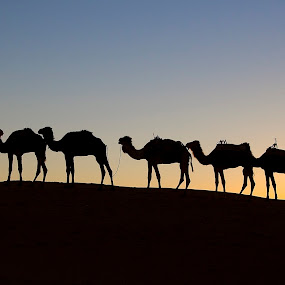 Camels line up on Sahard dune at sunrise. by Gale Perry - Animals Other ( seven, colorful, dune, camels, bedouin leader, sahara, sunrise,  )