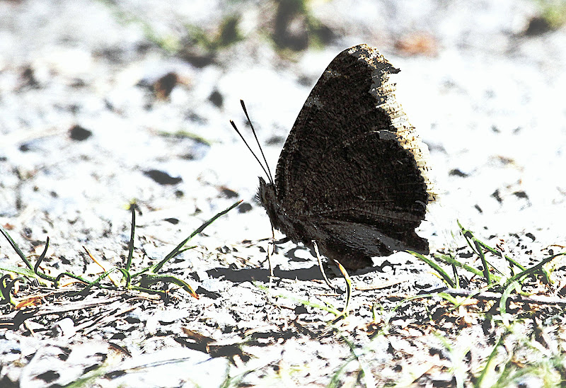 The black butterfly di ringhio