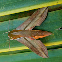 Pale striated hawkmoth