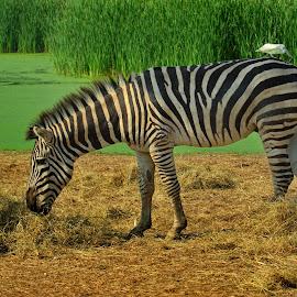 Zebra  by Aung Kyaw Soe - Animals Horses (  )