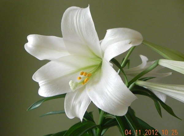 Picture of Easter Lily is mine given to me by my Aunt Linda for Easter 2012.