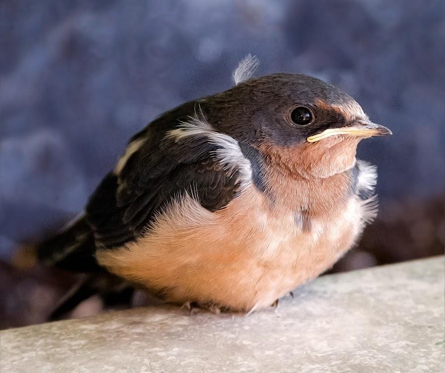 Barn Swallows by Dave Lipchen - Animals Birds ( barn swallows )